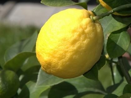 [에센셜오일]레몬